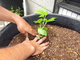 7)いよいよ苗植え